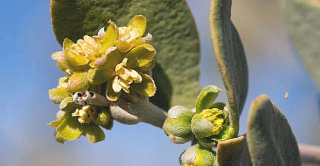 jojoba oil plant